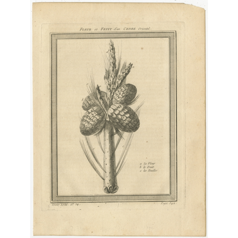 Antique Print of the Flower and Fruit of an Oriental Cedar by Prévost (1768)