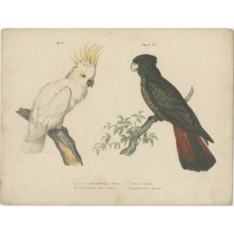 Antique Print of the Sulphur-Crested Cockatoo and the Red-Tailed Black Cockatoo by Fitzinger (1864)