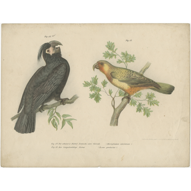 Antique Print of the Palm Cockatoo and the Norfolk Kaka by Fitzinger (1864)