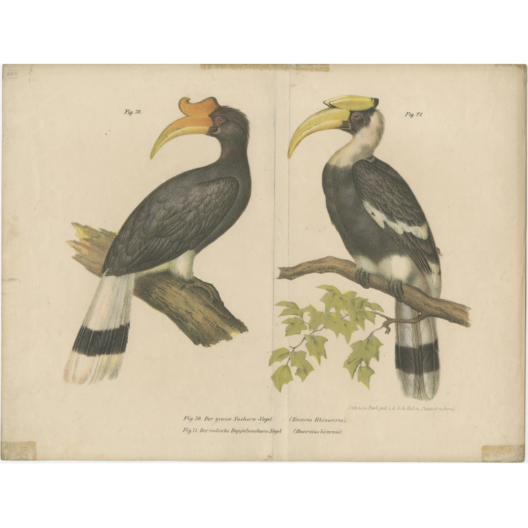 Antique Print of the Rhinoceros Hornbill and the Great Hornbill by Fitzinger (1864)