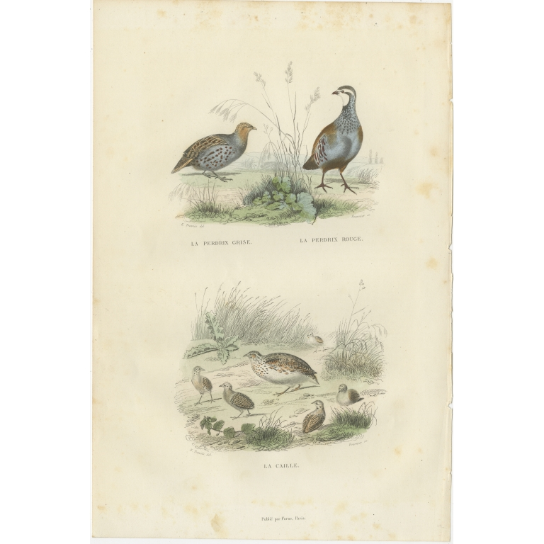 Antique Bird Print of Partridges and the Quail by Buffon (1841)