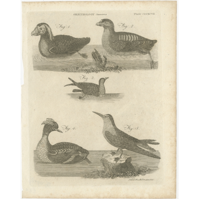 Antique Print of Ducks and other Birds by Bell (1810)