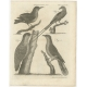 Antique Print of a Magpie and other Birds by Bell (1810)