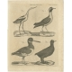 Antique Print of a Gralla and other Birds by Bell (1810)