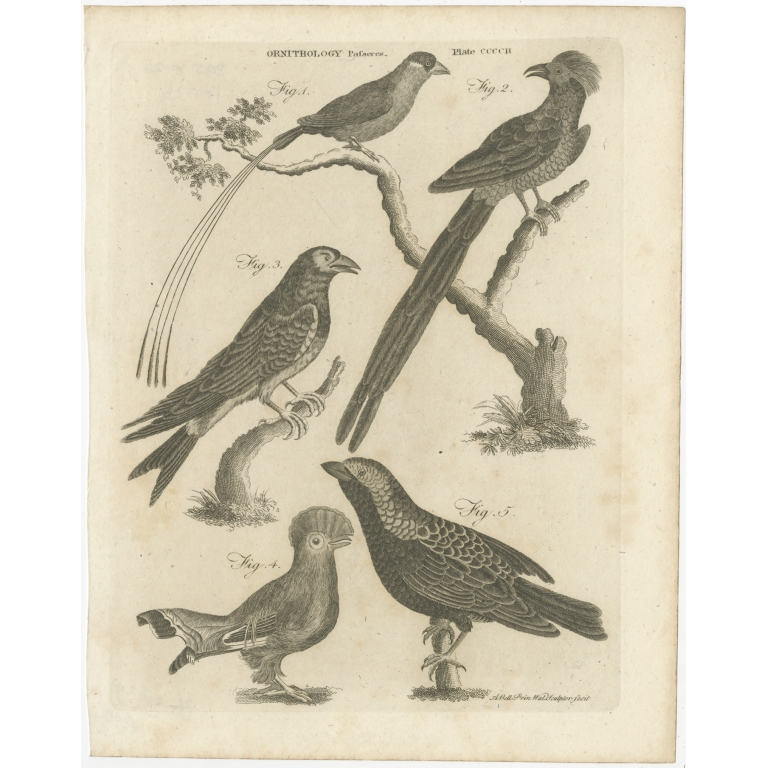 Antique Print of Passerine Birds and other Birds by Bell (1810)