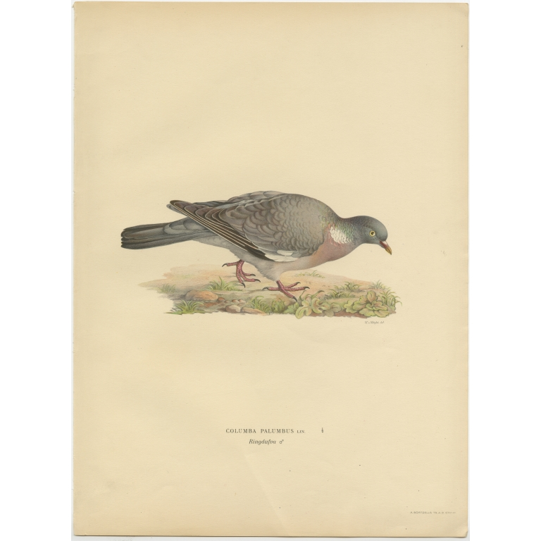 Antique Bird Print of the Common Wood Pigeon by Von Wright (1929)