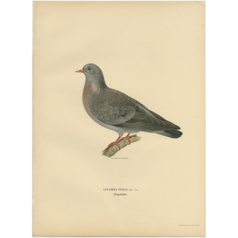 Antique Bird Print of the Stock Dove by Von Wright (1929)