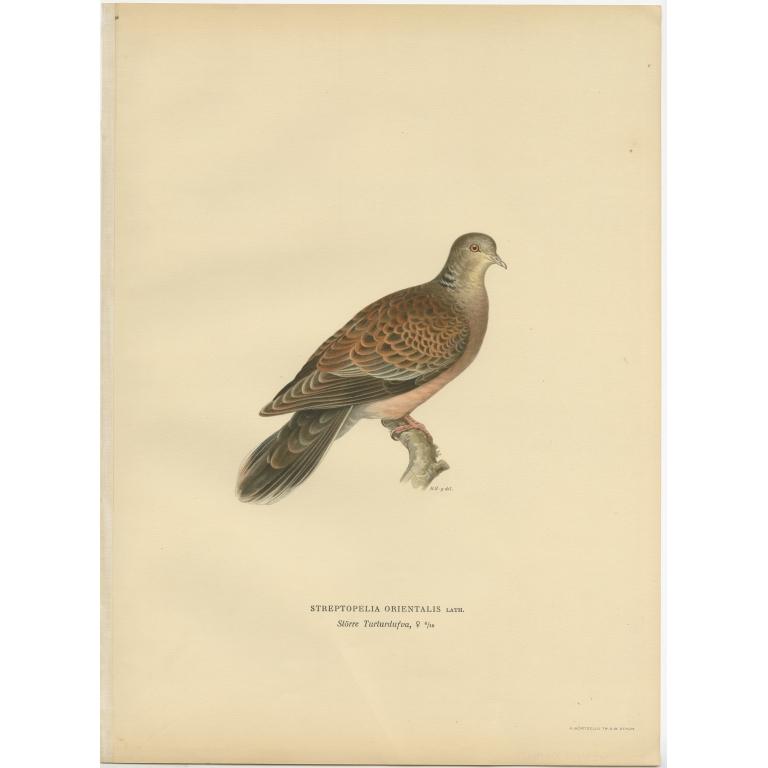 Antique Bird Print of the Oriental Turtle Dove by Von Wright (1929)
