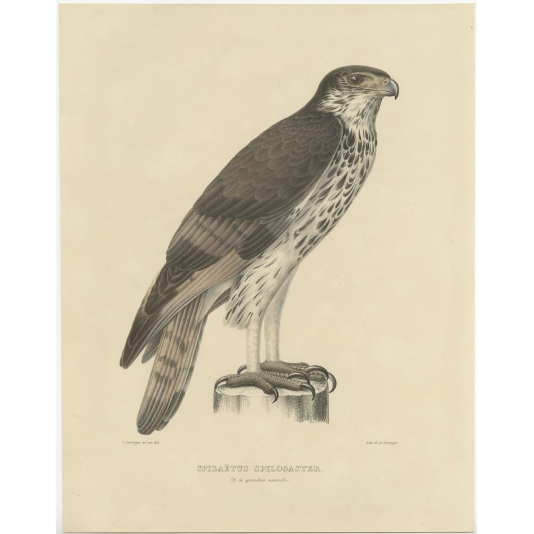 Antique Bird Print of the African Hawk-Eagle by Severeyns (c.1850)