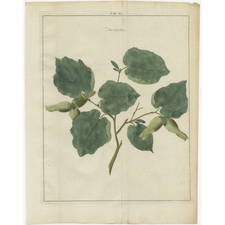 Tab. XI Antique Print of the Common Hazel by Knoop (1758)