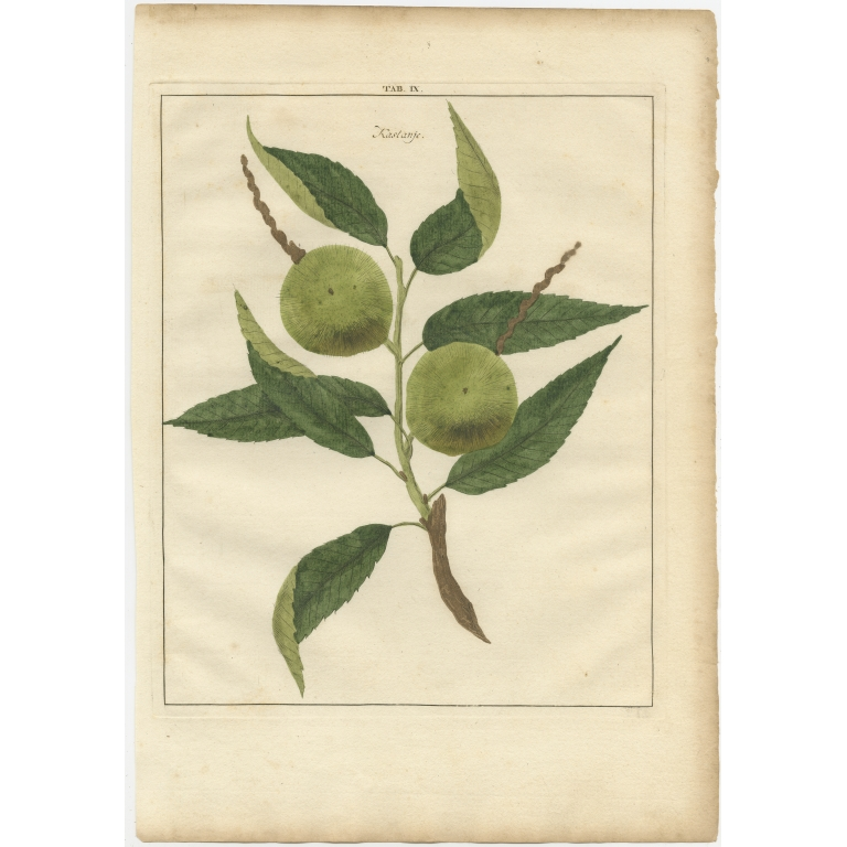 Tab. IX Antique Print of a Chestnut by Knoop (1758)