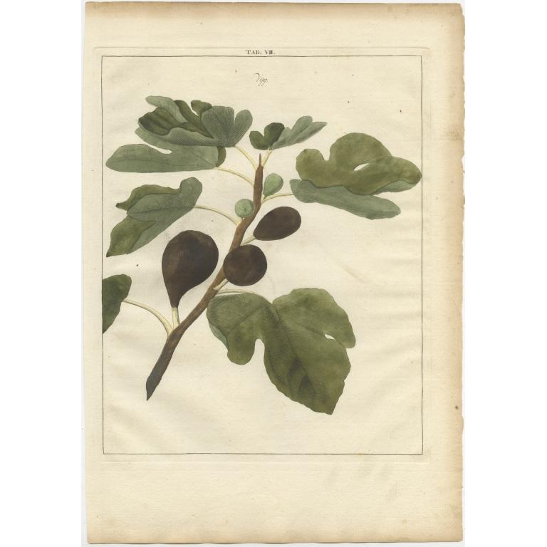 Tab. VII Antique Print of a Fig by Knoop (1758)