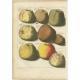 Tab. X Antique Print of various Apples by Knoop (1758)