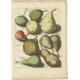 Tab. III Antique Print of various Pears by Knoop (1758)