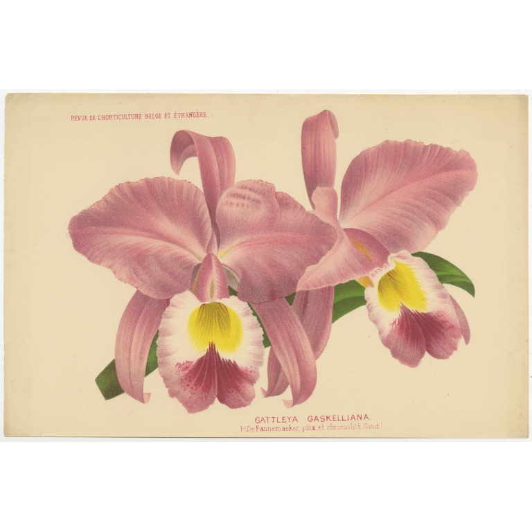 Antique Print of a Gaskell's Cattley's Orchid (c.1880)