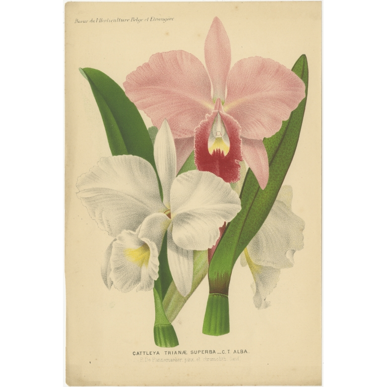 Antique Print of an Orchid species (c.1880)
