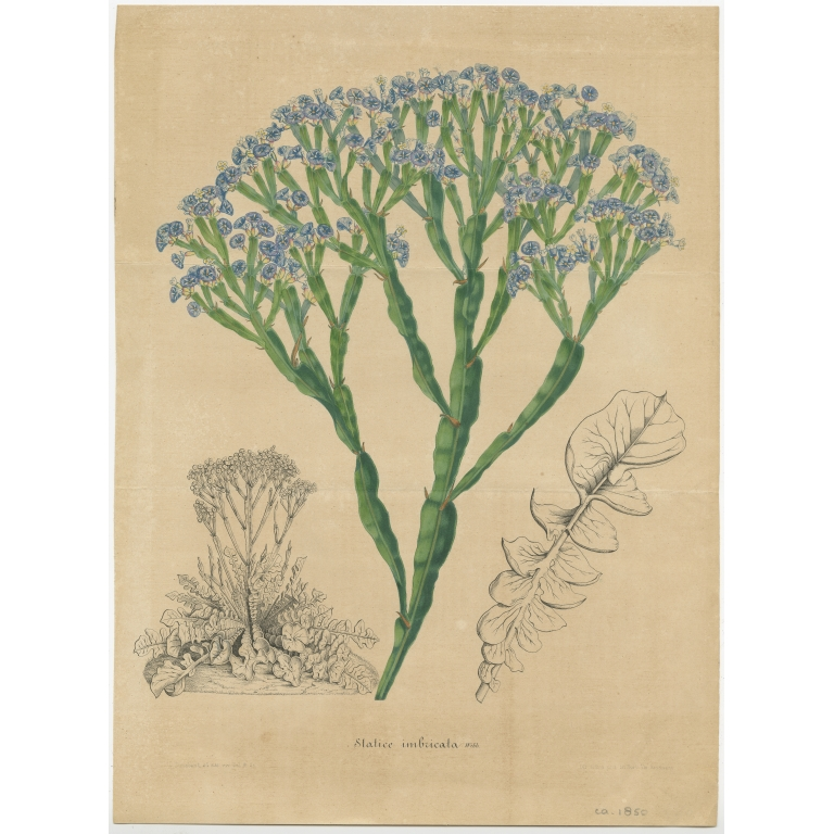 Antique Botany Print of the Limonium Imbricatum by Van Houtte (1848)