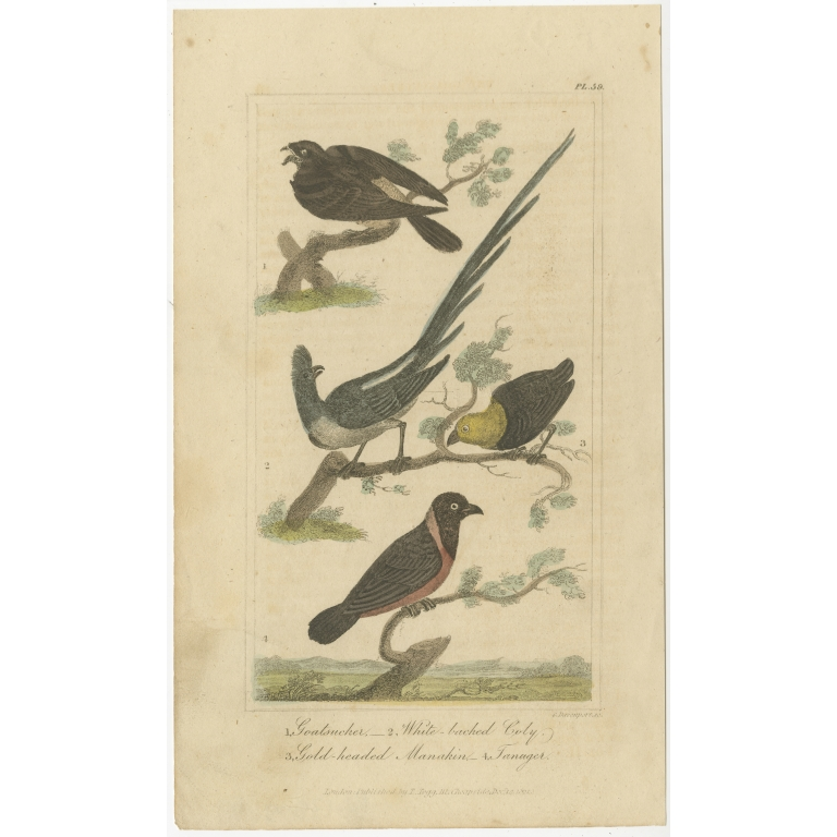 Antique Bird Print of a Nightjar and other Birds by Davenport (1821)