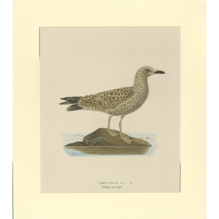 Antique Bird Print of the Lesser Black-Backed Gull by Von Wright (1929)